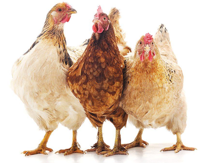Northern Colorado Residents Flock to Raising Backyard Chickens